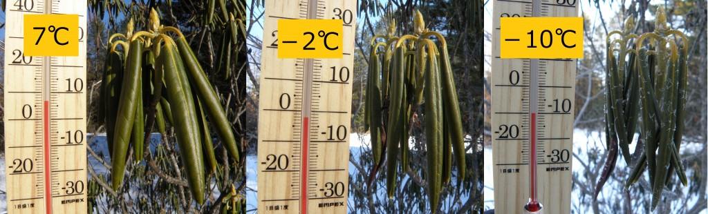 気温によるシャクナゲ葉の違い